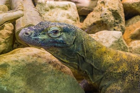 closeup of the face of a komodo dragon, tropical lizard from Indonesia, vulnerable animal specie