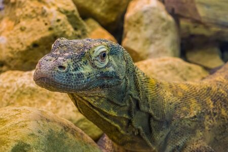 komodo dragon face in closeup, tropical monitor lizard from Indonesia, vulnerable animal specie