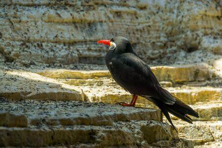 inca tern standing on a rock, coastal bird from peru, near threatened animal specie