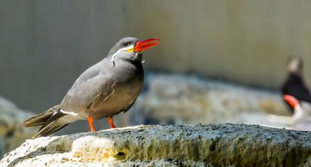 beautiful closeup of a inca tern, funny bird with moustache, near threatened animal specie