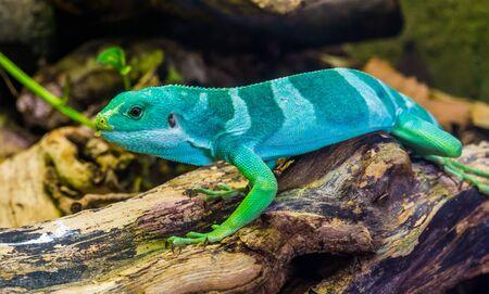 beautiful portrait of a male banded fiji iguana, tropical lizard from the fijian islands, Endangered reptile specie