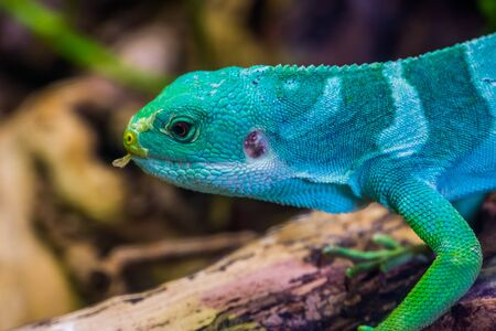 the face of a male fiji banded iguana in closeup, tropical lizard from the fijian islands, Endangered reptile specie Imagens