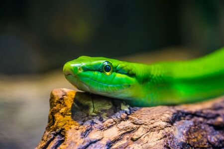 red tailed green snake ratsnake with its face in closeup, tropical reptile specie from Asia
