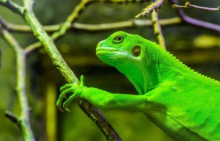 female green banded fiji iguana in closeup, tropical lizard from the fijian islands, Endangered reptile specie