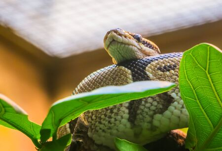 closeup of a royal python laying in a tree, tropical constrictor snake from Africa