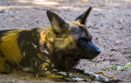closeup portrait of a african wild dog, endangered animal specie from Africa