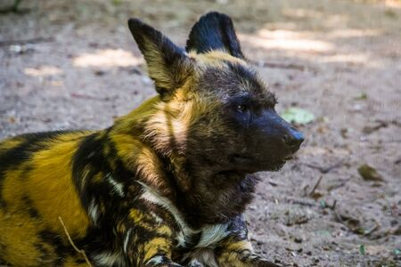 african wild dog with its face in closeup, Endangered animal specie from Africa