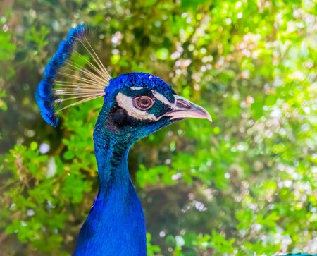 closeup of the face of a blue peafowl, colorful Indian peacock, popular ornamental bird specie