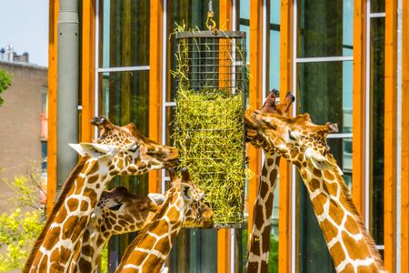 group of reticulated giraffes eating from a hay basket, zoo animal feeding equipment, Endangered animal specie from Africa