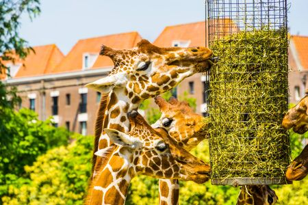 Somali giraffes eating hay from a basket, zoo animal feeding equipment, Endangered animal specie from Africa