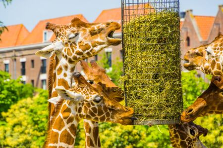 reticulated giraffes eating hay from a basket, zoo animal feeding equipment, Endangered animal specie from Africa