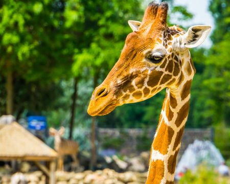 closeup of the face of a reticulated giraffe, popular zoo animal, Endangered specie from Africa