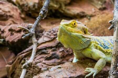 the face of a bearded dragon in closeup, colorful tropical lizard, popular terrarium pet in herpetoculture
