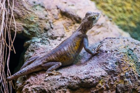 portrait of a common rock agama, tropical lizard specie from the desert of Africa