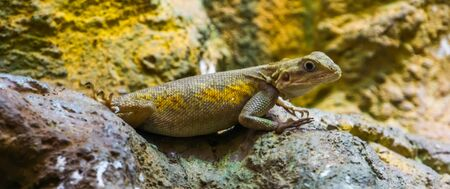 closeup of a common rock agama, tropical lizard from the desert of africa