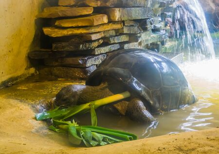 pet feeding, big tropical turtle eating vegetables, Diet of a tortoise, Exotic reptile species and care 写真素材