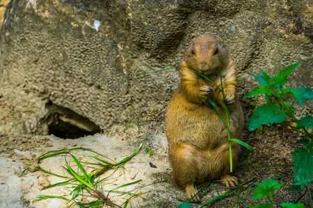 closeup of a black tailed prairie dog holding and eating grass, popular tropical pet from America
