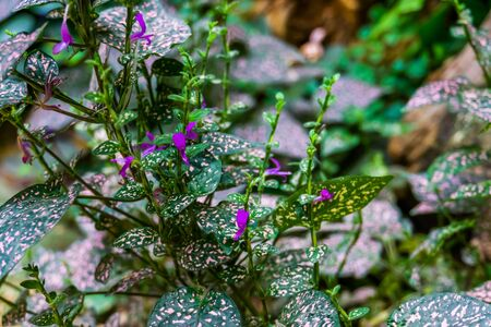 Polka dot plant in bloom with purple flowers, popular cultivated houseplant, nature background
