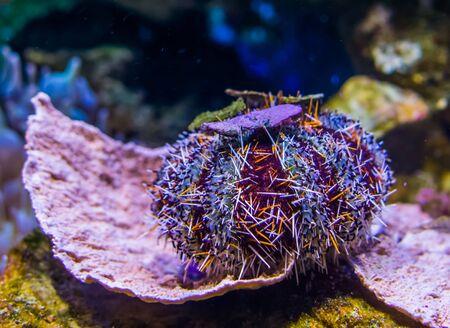 closeup of a pacific red pincushion urchin, popular tropical pet from hawaii