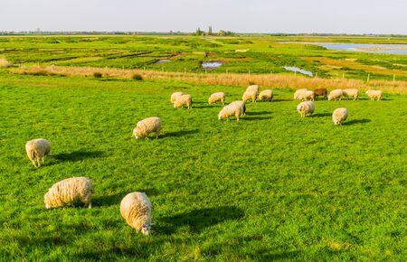 sheep grazing in the pasture of schakerloopolder in Tholen city, countryside landscape in Zeeland, The netherlands Reklamní fotografie