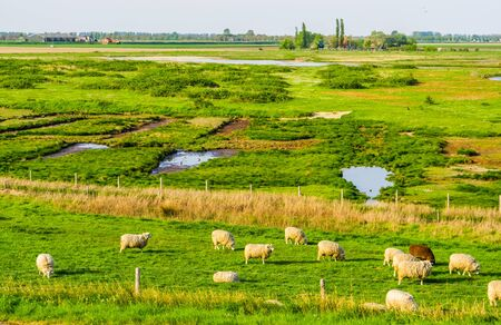 schakerloopolder in tholen city, beautiful countryside landscape with grazing sheep in zeeland, The Netherlands