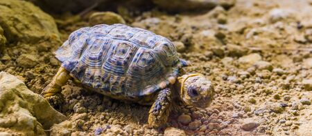 speckled tortoise in closeup, small turtle specie from africa, Endangered animal specie 免版税图像