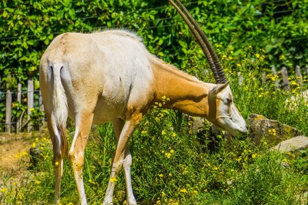 beautiful portrait of a scimitar oryx, Animal specie that is extinct in the wild, antelope with large horns