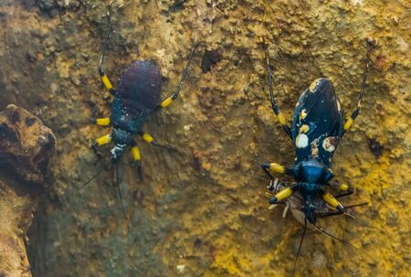 two spotted assassins bug in closeup killing a cricket, tropical insect specie from Africa