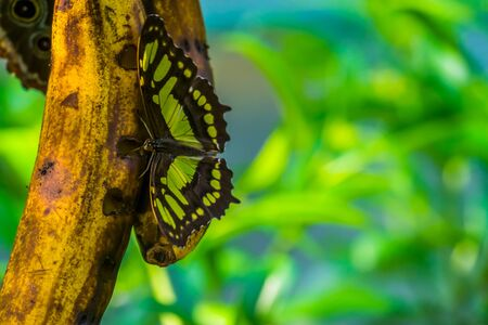 closeup of a malachite butterfly drinking from fruit, colorful and beautiful insect, tropical specie from america