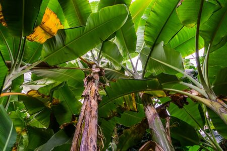 sky view of many banana tree plants, tropical plant specie from Asia, nature and horticulture background Stockfoto