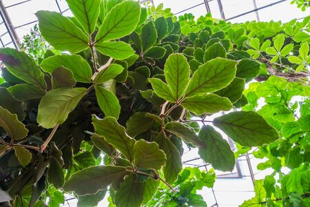 closeup of the leaves a giant grape vine plant, tropical cultivated plant specie, Horticulture and nature background Stockfoto