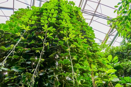 Giant grape vines hanging in a greenhouse, tropical cultivated plant specie, Horticulture and nature background Stockfoto
