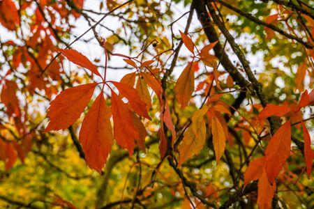 orange maple leaves during autumn season, colorful foliage in fall colors, Seasonal nature background