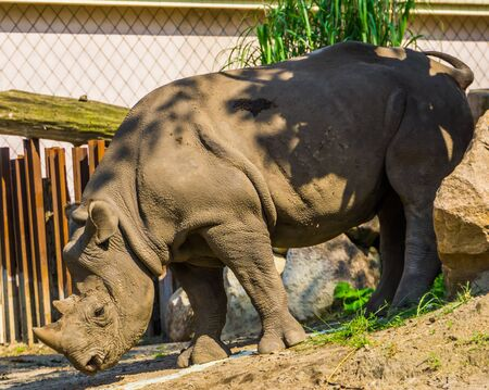 black rhinoceros in closeup, critically endangered animal specie from Africa Stockfoto