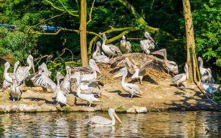 family of dalmatian pelicans on a island, water bird specie from Europe