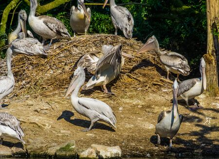 group of dalmatian pelicans together at the nest, common water bird specie from europe