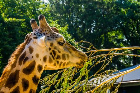closeup of the face of a rothschilds giraffe, tropical and endangered animal specie from Africa