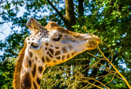 rothschild's giraffe with its face in closeup eating the leaves from a tree branch, Endangered animal specie from Africa