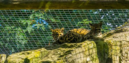 mainland clouded leopard couple sitting together on a rock, Vulnerable animal specie from the himalayas