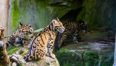 closeup of two mainland clouded leopards sitting together on a rock and one walking in the background, tropical wild cats from the himalayas of Asia