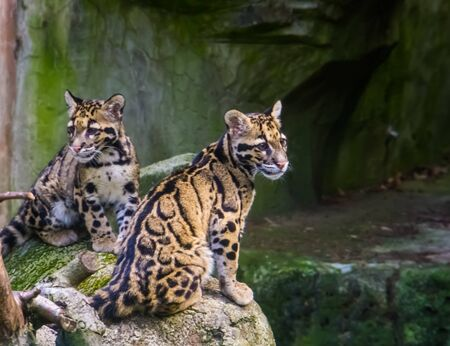 mainland clouded leopard couple sitting together on a rock, tropical wild cat specie from the himalayas of Asia