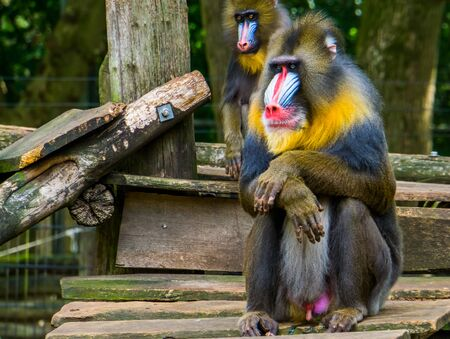 mandrill in closeup with its face and genitals, Vulnerable primate specie from Africa Stockfoto