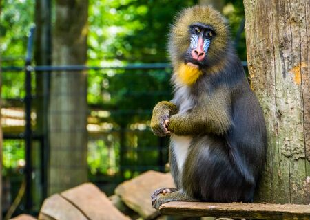 cute mandrill looking towards camera, vulnerable baboon specie from Africa Stockfoto