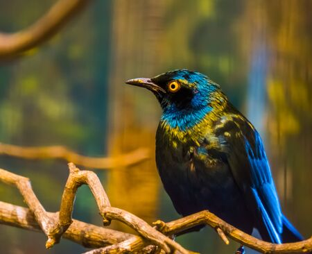 greater blue eared starling in closeup, glossy bird sitting in a tree, tropical bird specie from Africa