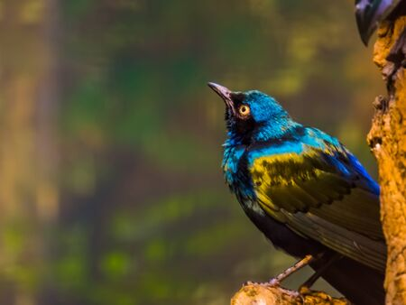 closeup portrait of a greater blue eared starling, beautiful glossy bird sitting in a tree, tropical animal specie from Africa