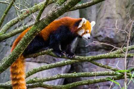 Red panda standing on a tree branch, Adorable small panda, Vulnerable animal specie from Asia Stockfoto