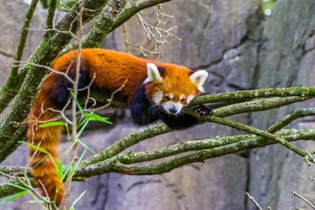 closeup portrait of a red panda laying on a tree branch, Adorable small panda, Vulnerable animal specie from Asia Stockfoto