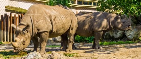 male and female black rhinoceros couple together, critically endangered animal specie from Africa