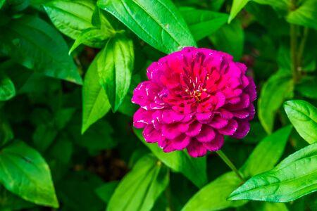 beautiful pompon dahlia flower in bloom, colorful ornamental garden flower, Cultivar specie Stockfoto