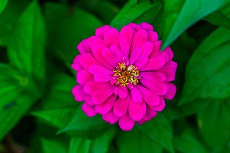 pompon dahlia flower in bloom, colorful ornamental garden flower, cultivated plant specie, nature background